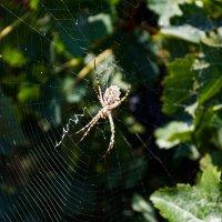 виноградный паук-2 :: Борис Иванов