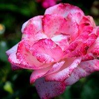 Мраморная роза :: Елена Бушуева
