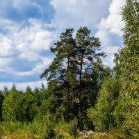 Две сосны :: Андрей Дворников