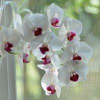 Орхидея на дому. :: Юрий Скрипченков