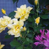 розы :: Станислав Третьяков
