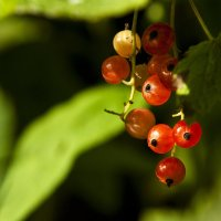 Красна ягода. Осенние зарисовки. :: Сергей Калиновский