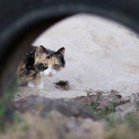 Подзаборная кошка :: Андрей Синявин