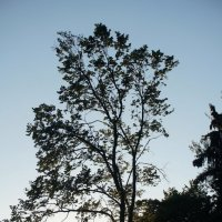 Дерево на закате :: Анастасия Макарова