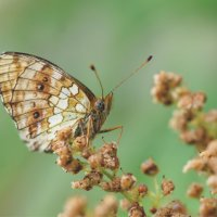 А имя бабочки-рисунок... :: Наталия Григорьева
