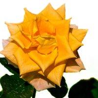 Жёлтая роза :: Alex Bush