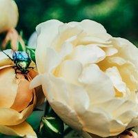 Красавец жук и розы :: Анжелика Фотограф