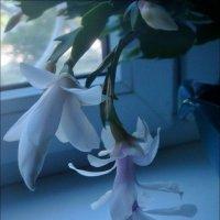 Летнее цветение декабриста :: Нина Корешкова