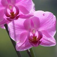 Солнечная орхидея :: Леонид