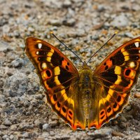 красивая бабочка. :: Андрей Фролов
