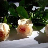 розы :: Марина Белоусова