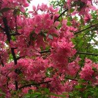 Яблоневый цвет. Весна :: Elena