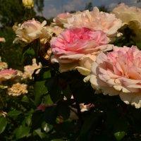 Розы :: Мария