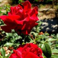 Красные розы... :: Тамара (st.tamara)