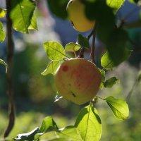 Солнечное яблоко :: Andrad59 -----