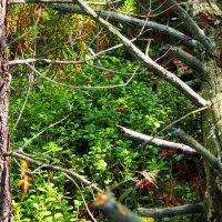 В таком лесу я собираю бруснику :: Александр Попов