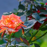 Цветы в парке. :: Геннадий Александрович