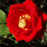 Розы в конце августа... :: Тамара (st.tamara)