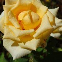 Розы в конце августа...2 :: Тамара (st.tamara)