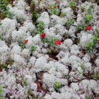 Белый мох и брусника :: Ираида Мишурко