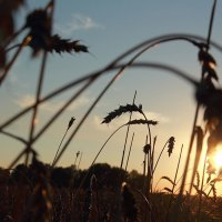 Пшеница на закате :: Владимир Красевский