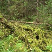 В старом лесу :: Анатолий Мамичев