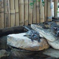 Нильский крокодил и красноухие черепахи :: Елена Павлова (Смолова)