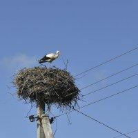 Бусел (аист) на гнезде. :: юрий Амосов