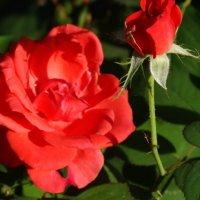 Городские розы... :: Тамара (st.tamara)