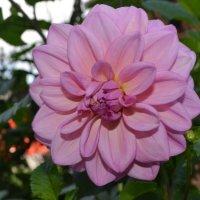 Осени цветок. :: zoja
