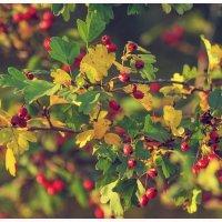 осенние ягоды :: Viktoriya Bilan