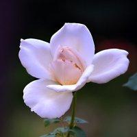 Утром раскрывается роза... :: Nina Streapan