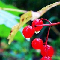 Красна ягода :: Степан Поросков