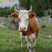 настоящая корова, с настоящими рогами:) :: Elena Wymann