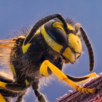 Большой полосатый мух :: Андрей Афанасьев