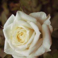 Роза*** :: Колибри М