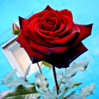 роза :: Елизавета Белянина