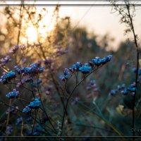 Луговые цветы :: Сергей Шруба