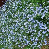 Голубое поле :: Лидия (naum.lidiya)