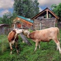 Телячьи нежности на скотном дворе :: Елена ))