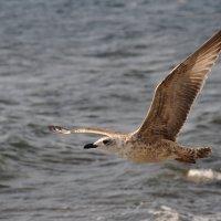 Чайка :: Александр Краев