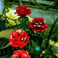 Розы, из металла.. :: Юрий Стародубцев