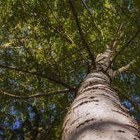 Березовое небо. :: Альмира Юсупова