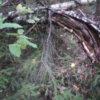 Тайна леса здесь сокрыта..... :: Ольга Кривых