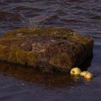 из серии...мочёные яблоки... :: Михаил Жуковский