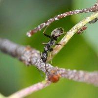 Чёрный  муравей :: Геннадий С.