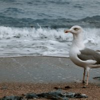 Задумчивая чайка :: Ольга сташевски