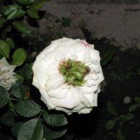 Роза с секретом :: Ольга Иргит