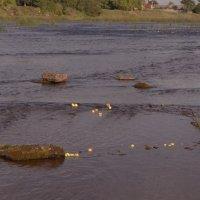 продолжение темы о мочёных или речных яблоках)))) река Луга..Кингисепп...сплав урожая по реке.... :: Михаил Жуковский