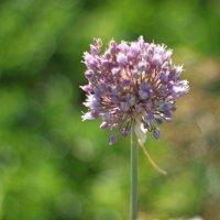 Чеснок цветёт :: Марина Мишутина